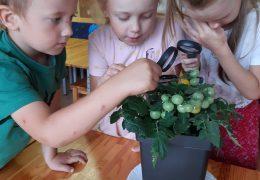 10.grupa pēta tomātu augšanu.
